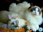 Two Beautiful Blue-Eyed Cats
