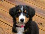 mountain dog puppy