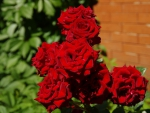 Red Roses Bloom