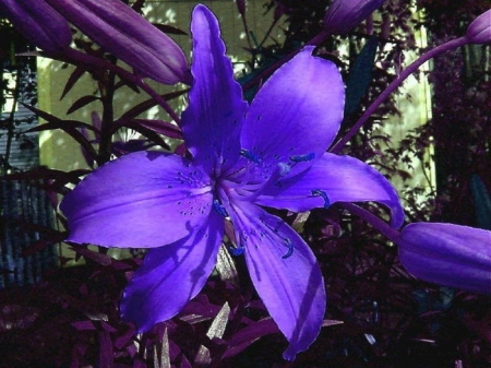 Blue Lily - flowers, lily, nature, petals, blue
