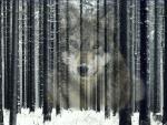 Wolf Winter Woods