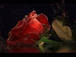 Sparkling Red Rose