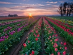 Sunset and Tulip Farms