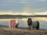 Shetland ponies with cardigans :)