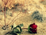 Red rose on the ground
