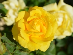 Lovely Yellow Roses