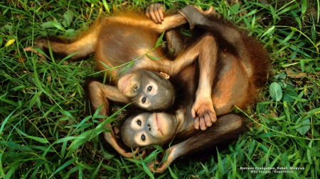 Baby Orangutans - primates, siblings, babies, orangutans, animals