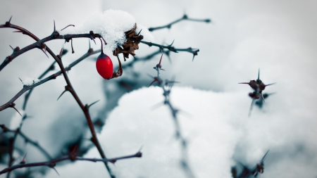Roseship - frosted, roseship, fruits, HD, branch, winter, frosty, twigs, wild fruits, berry, snow, wallpaper, nature, frozen, frost