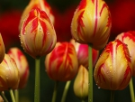 Yellow with red stripes tulips