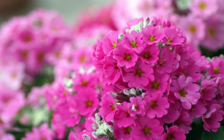 Comments On Small Pink Flowers Flowers Wallpaper Id 1928475