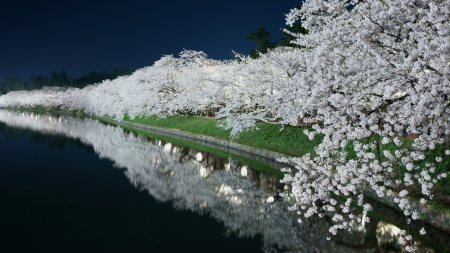 Spring Blossom at Night - pond, bloom, garden, spring, lights, night