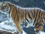 Tiger in the snowfall