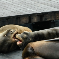 Female Sea Lions 1