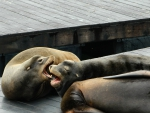 Female Sea Lions