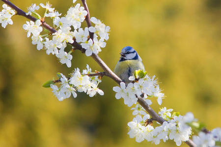 Blue Tit - animals, birds, roses, blossoms, nature