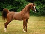 Chestnut Arabian 1