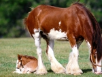 Clydesdale Mare and Foal f1