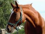 Chestnut Horse 1