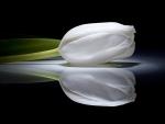 ♥ White Tulip.