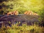 Three lions