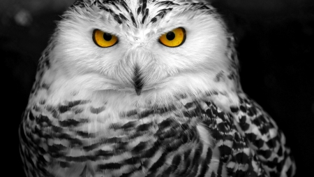 Snowy Owl - black and white, cool, yellow eyes, 1920x1080