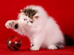 bicolor persian kitty at christmas