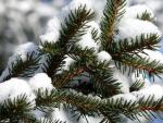 Spruce in snow