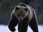 Bear-walking in the snow