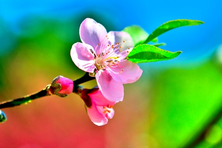 SPRING BLOSSOMS - clolorful, spring, sky, seasons, buds, leaves, splendor, bright colors, macro, encahnting nature, nature, flowers paradise