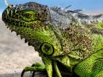 Iguana .