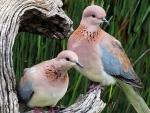 *A kind of pigeons*