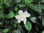 *The beautiful and fragrant gardenia*