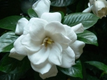 Beautiful Gardenia