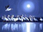 White Pelicans in Full Moon