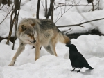 wolf and crow