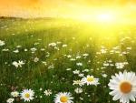 Sunrise Daisy Field