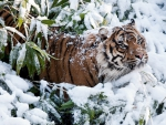 •Tiger in snow•