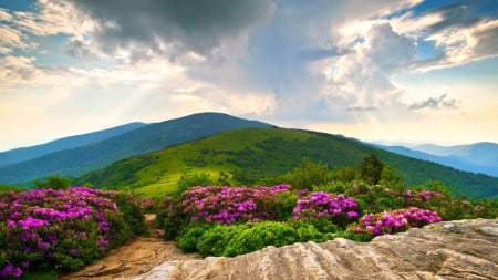 Full Bloom Rhododendrons - magenta, sunbeams, beautiful, sky, clouds, fuchsia, meadows, green, mountains, summer, flowers, North Carolina