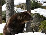 Eurasian bear