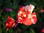Henri Matisse Roses