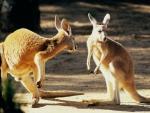 kangaroo talk