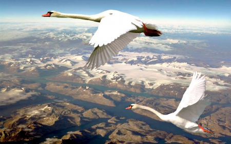 Swans over Quebec, Canada - Swans, Canada, Animals, Birds