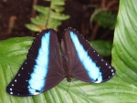 Black-winged butterfly with pale blue stripes
