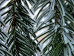 Frozen fir