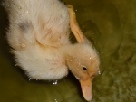 Fluffy Duckling