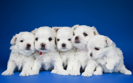 Puppies - cute, white, puppy, dog, animal, blue, sweet