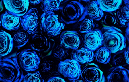 blue roses flowers nature background wallpapers on desktop nexus