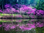 Redbud Trees Reflection