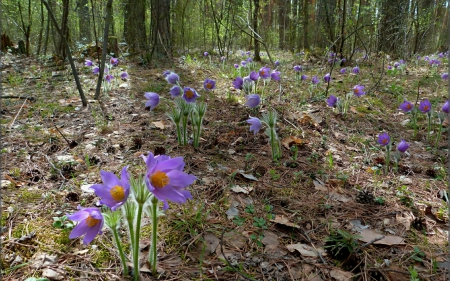 Pasqueflower in spring - forest, pasqueflower, flower, beautiful, spring, violet