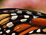 Butterfly wing close-up